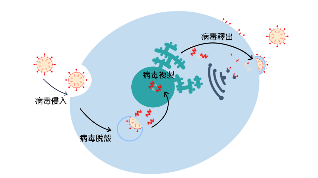 Influenza virus infected the epithelial cell.  流感病毒感染上皮細胞